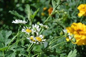 Fever few - medicinal herb and part of our new herb garden