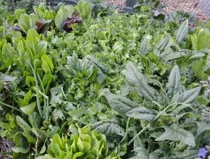 Salad green garden