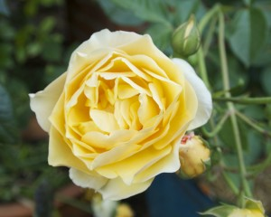 Graham Thomas, named after English horticulturalist  and garden designer